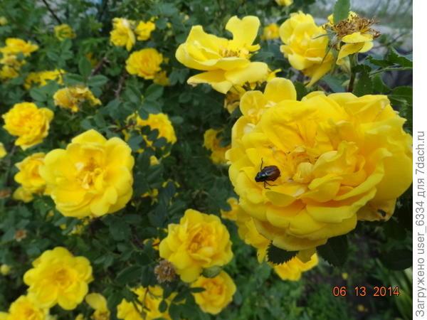 """аромат странный, как и подобает сорту происходящему от Rosa foetida, то есть """"роза вонючая"""". Мне он напоминает запах липового мочала. Чтоб его ощутить , впрочем, надо сунуть морду лица прямо в куст"""