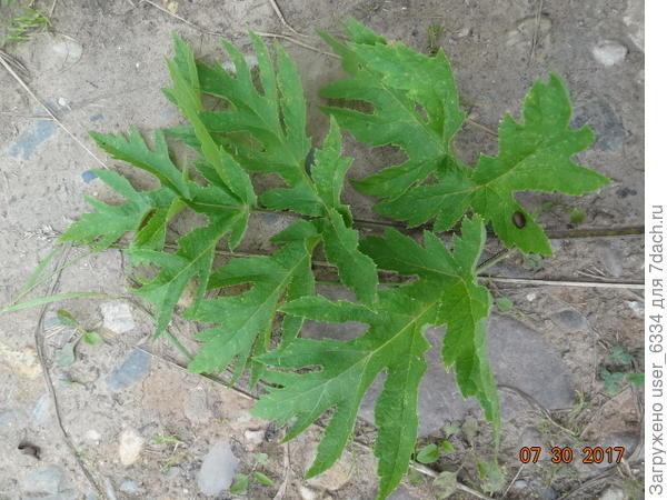 степень рассеченности листьев различна