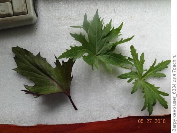 """Вот листья трех моих бузульников. В центре - то , что я считаю узкоголовым. Правый лист - с кустика , купленного на днях как """"тангутский"""". Но. пожалуй, это все-таки б. Пржевальского. Левый - уже зубчатый, у него соцветия в виде щитков, а сами цветы - довольно крупные ромашки. Явно из сортотипа """"озирис"""", у классического зубчатого круглые ровные листья."""