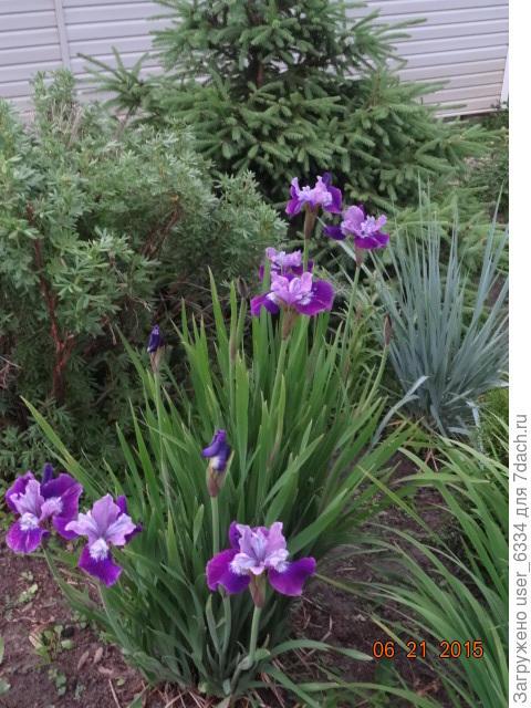 один из сибиряков с некоторыми претензиямина элитарногсть( крупные цветы, высокие цветоносы)