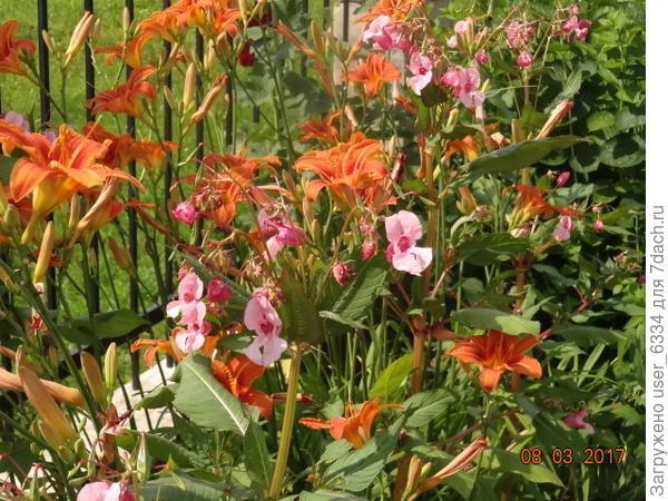 декоративные сорняки: лилейник рыжий и бальзамин железконосный