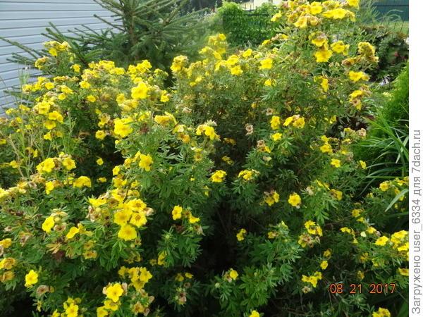 Пока довольствуемся вот этим кустом сорта Голдфингер, цветущим , как видите весьма кучеряво. Высота его побольше метра. Есть ещё два сеянца от него, в общем вполне прилично выглядящие, но с чуть другим оттенком лепестков