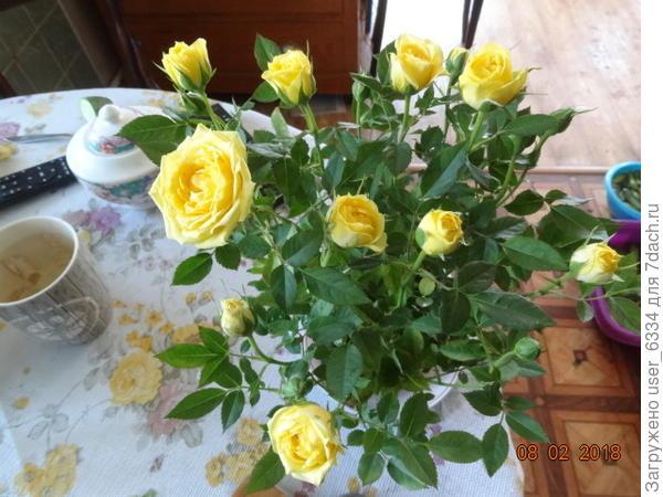 А это сегодняшний замах на очередной эксперимент. Пишут, что миниатюрки из цветочного отлично приживаются в грунте, если их сразу туда высадить, обрезав цветы, и слегка укрыть на зиму. Вот и поглядим. За смешные 199 рублей - можно