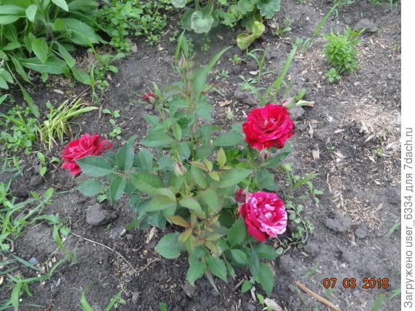"""Эта мелочь, купленная за """"пестрые"""" цветки, сильно уступает в этом отношении почившей несколько лет назад дареной Фердинанд Пичад, да и ростом не вышла"""