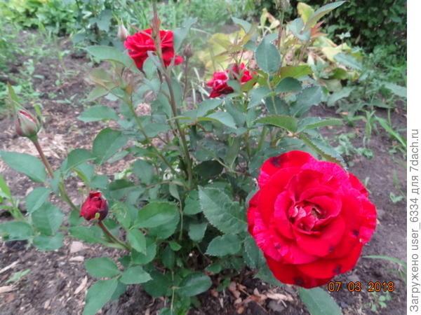 Правда, цветет мелочь непрерывно и почти не имеет шипов! Зато листики стали сильно болеть, некоторые к сегодняшнему дню наполовину высохли