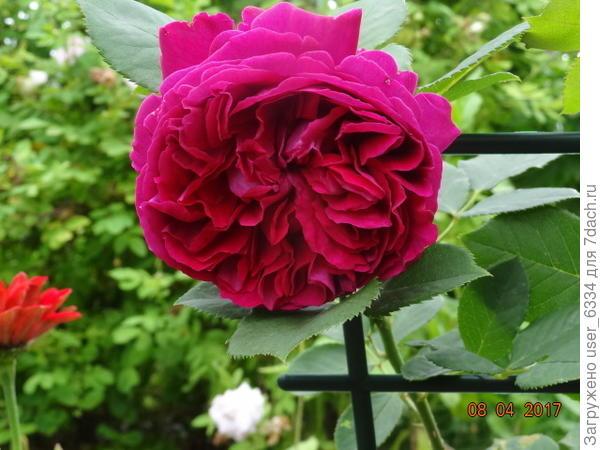 Цветки не боятся дождя, долго держатся и сильно меняют форму