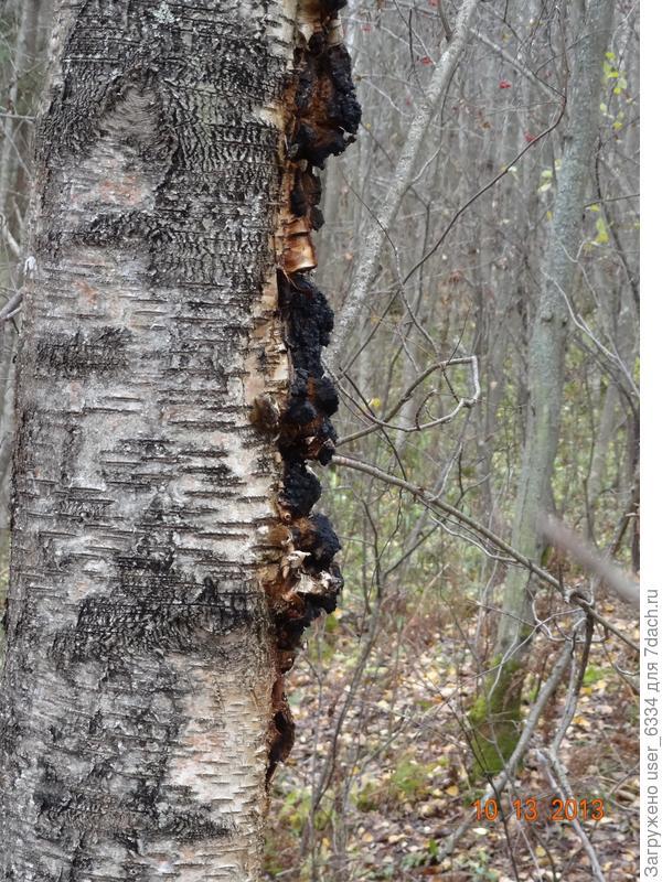чага на дереве