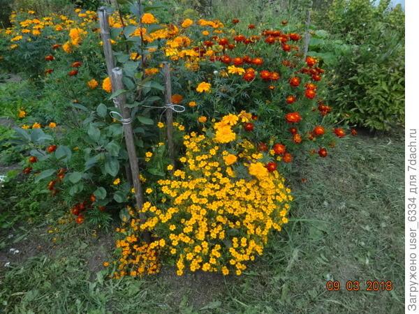 Жена нынче побоялась, что собранные семена б.тонколиистных окажутся невсхожими( погода вызреванию не способствовала)