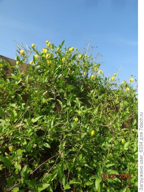 к зиме желтые колокольчики, которые вообще-то появляются с начала лета. только не в таком количестве, станут довольно крупными пушистыми шариками.