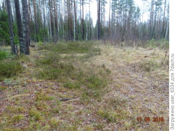 За канавой - обширная полянка, точней давняя вырубка, почему-то не заросшая. Зеленые языки вдающиеся слева в рыжие вейники и орляки - вереск.