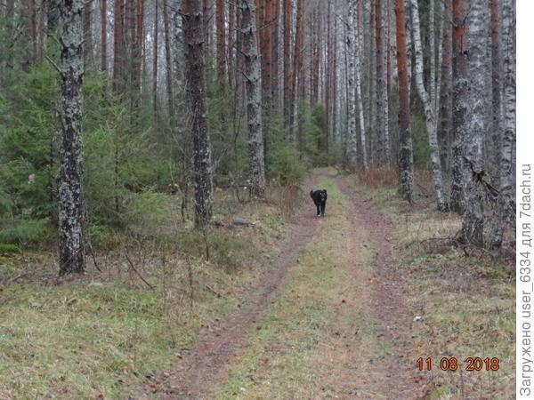 В паре км за деревней сворачиваю с асфальта в лес. В отличие от захламленных зарослей вокруг нашего Сенцова, здесь чистота и красота.  Но бываю я здесь только в межсезонье, да  и то нечасто.