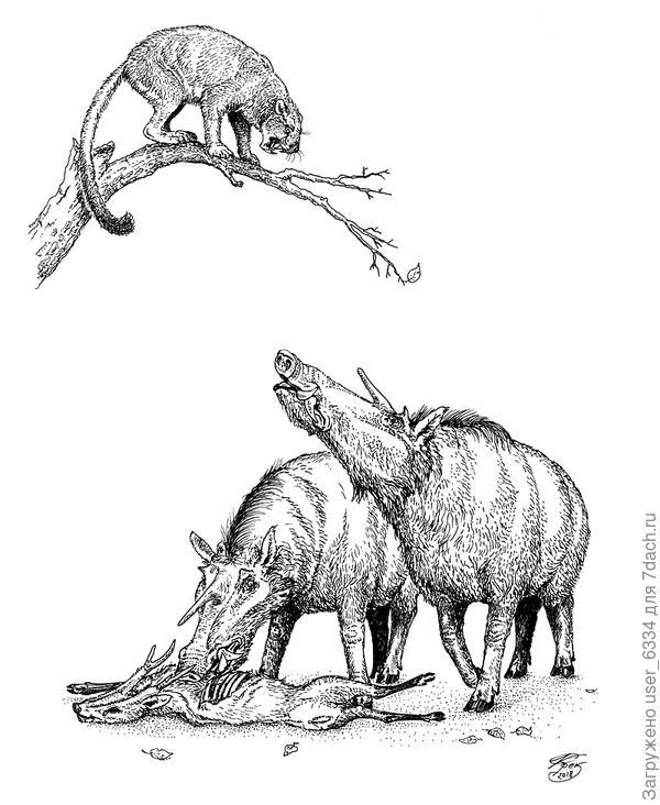 """Миоцен, примерно 13 миллионов лет назад, где-то в Китае.  Барбурофелид (ложная саблезубая кошка) сансаносмилус убил родственного мунтжакам оленя эопрокса но не успел насладиться трапезой, как был загнан на дерево парой четырехсоткилограммовых """"рогатых кабанов"""" кубанохэров. Как и многие свиньи, кубанохэры были, скорее всего, всеядны и не отказывались от дармового животного белка, а достигавший величины леопарда или пумы сансаносмилус не мог им ничего противопоставить, особенно при численном превосходстве со стороны свиней."""