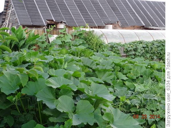так это выглядело летом... Интересно, что некоторые ветки, от пузыреплодников. розы Фламментанц и девичьего винограда за лето давали побеги, пробившись через эту толщу.