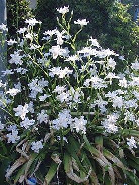 Собственно ирис японский, который и на латыни Iris japonica, выглядит так и в массе не доступен даже многим японцам, ибо является вечнозеленым уроженцем жарких субтропиков и тропиков, произрастая на крайнем юге Страны Восходящего Солнца, в горных лесах Южного Китая и Мьянмы