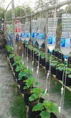 Грядки с рассадой, установки (бутылки и капельницы) для капельного полива) ©.