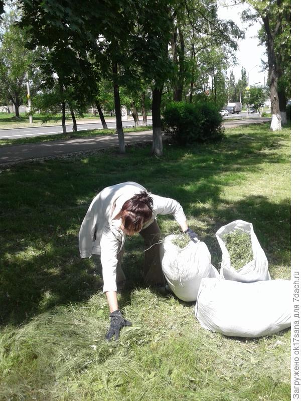 Я собираю чудесную скошенную траву возле школьного сада.