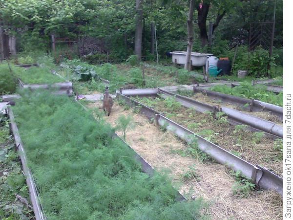 Замульчированные грядки, высаженная рассада, дорожки, покрытые сеном и скошенной травой.