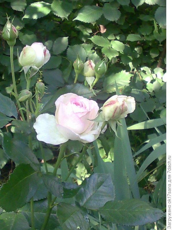 Роза Эдем.