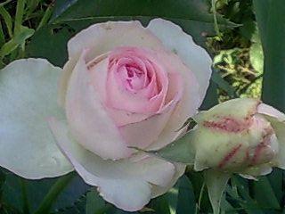 Розы в моем саду.