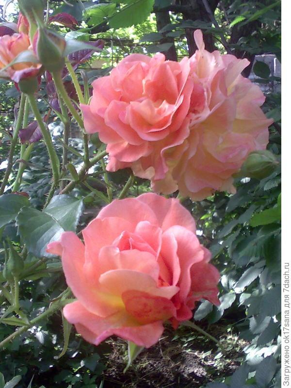Кустовая роза.