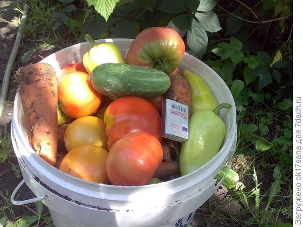 Я прошлась по своему органическому огороду и собрала в ведро всего понемногу - морковь, бурак, перец, помидоры...