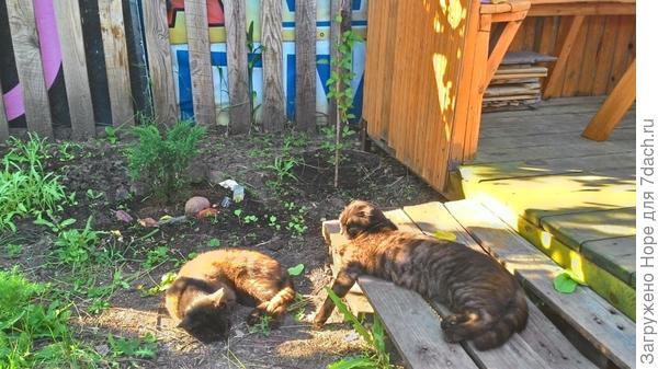 Соседские коты в нашей беседке.