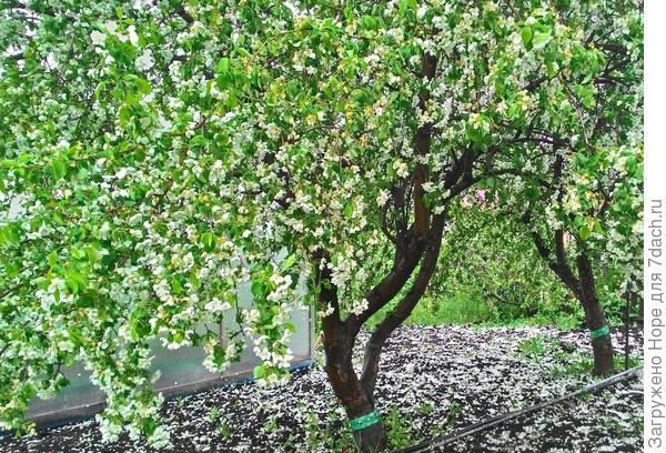 Вот она в цвету прошлой весной, правда после дождя.