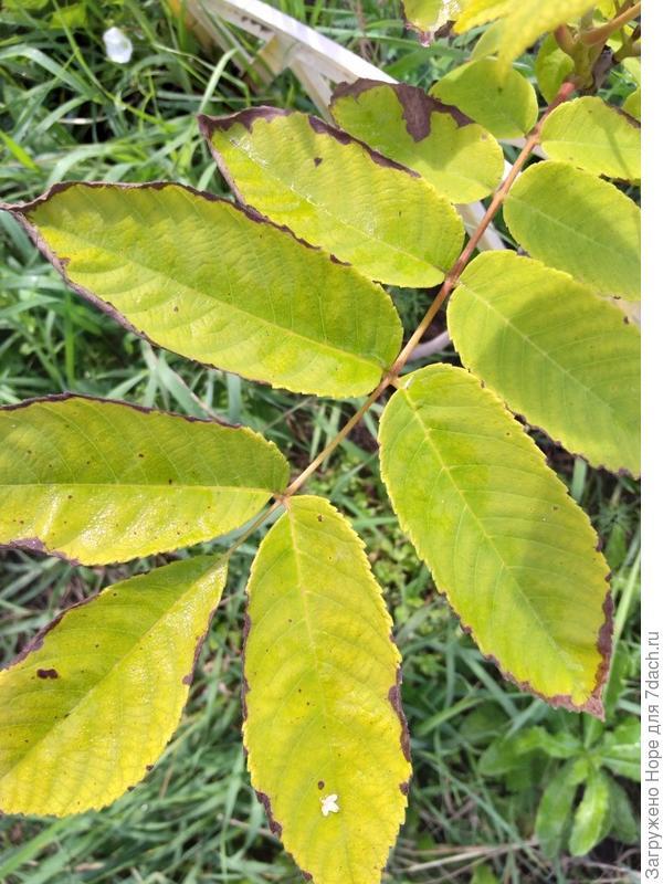 Листья чернеют и сохнут по краям