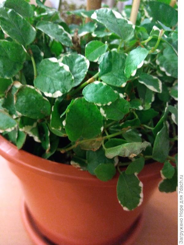 Растение под фикусом