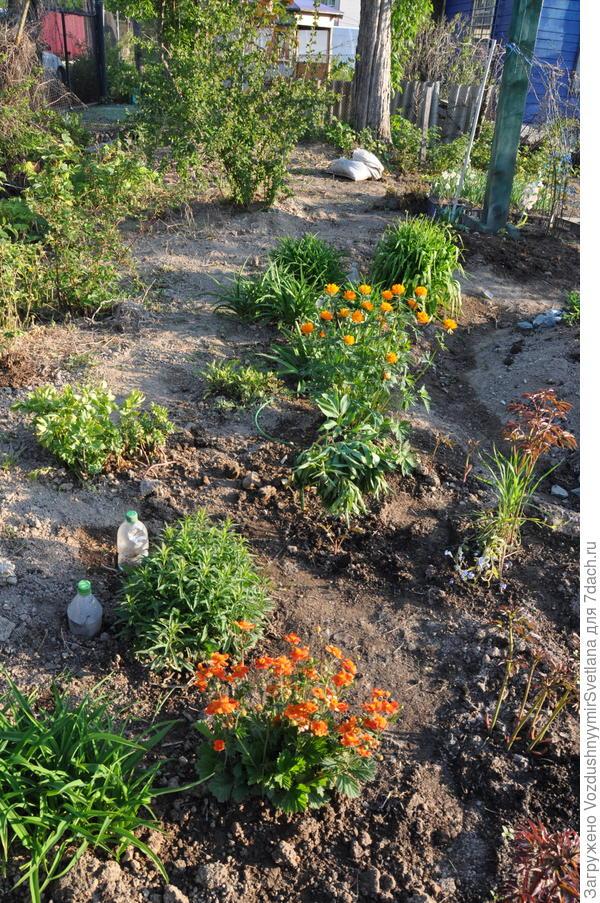 Вот такими их посадила в начале июня.