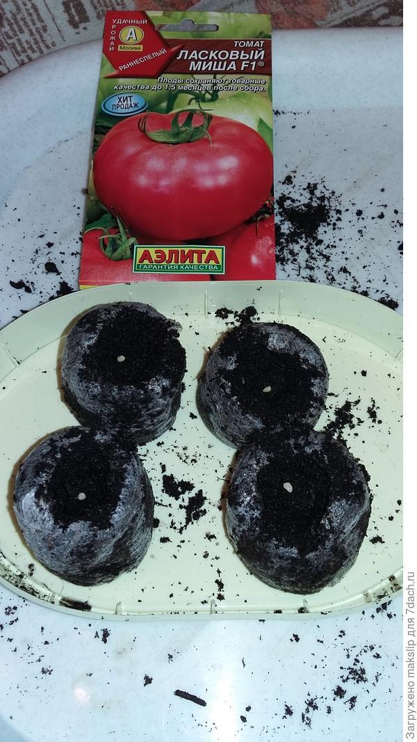 Посев томата Ласковый Миша