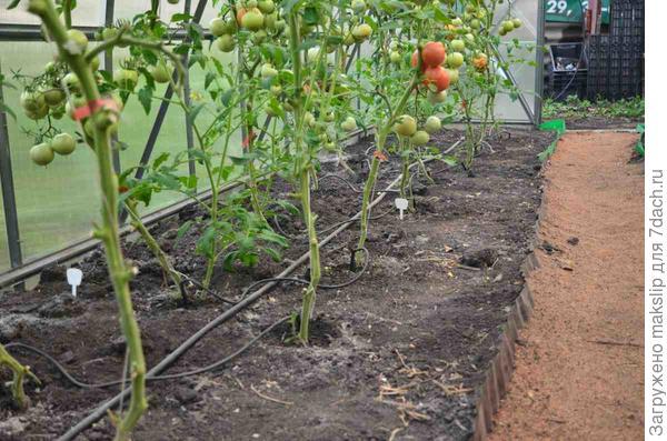 КП томатов