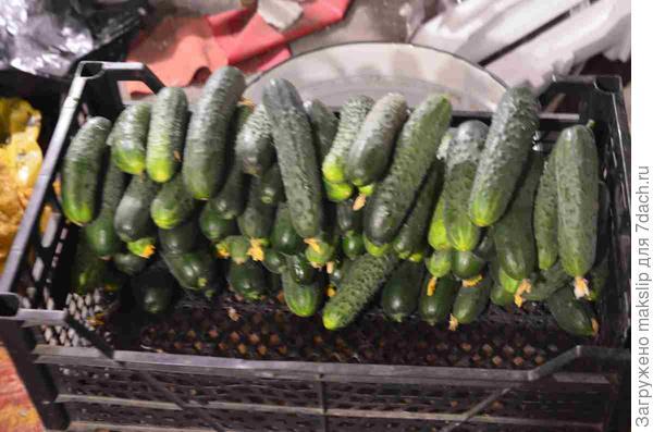 Однодневный урожай огурцов. 8 кустов, используя КП