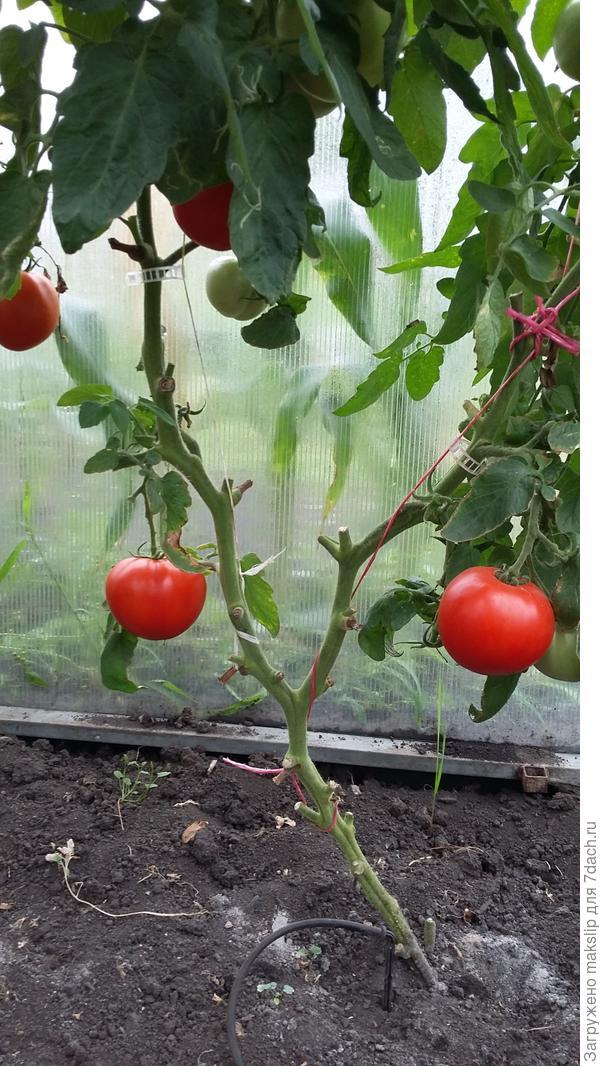 Клипса. Если не успел вовремя подкрутить томат по шпагату.