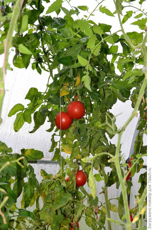 Красивые помидорки