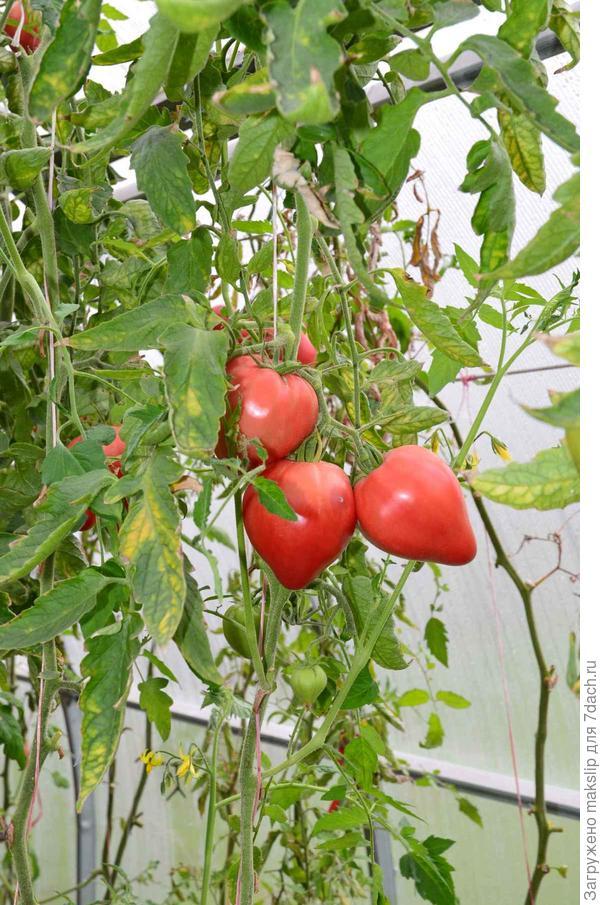 1 октября. Есть томатики!!!