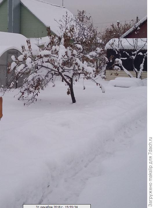 А это не обрезанная яблоня Кандиль Орловский