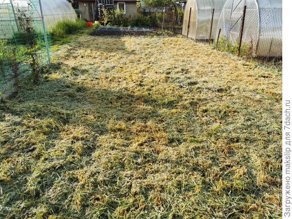 Стоит ли перекапывать скошенную рожь, чтобы посеять новые сидераты?