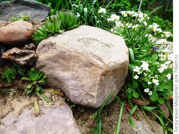 Арабис на каменистой горке