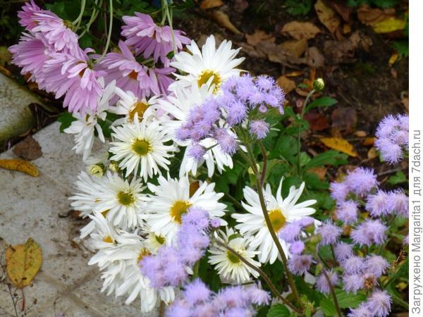 Агератум очень долго цветет