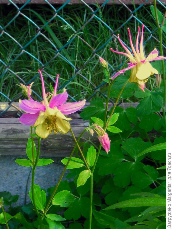 Желто-розовое чудо
