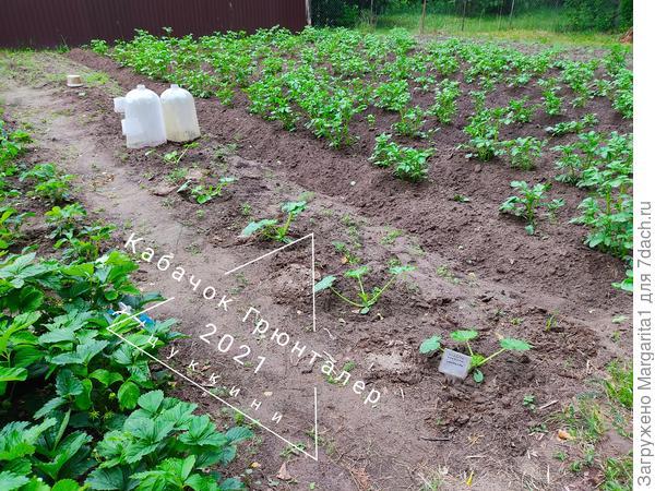 """Овощ для диеты (""""кочабак""""). Рост и развитие"""