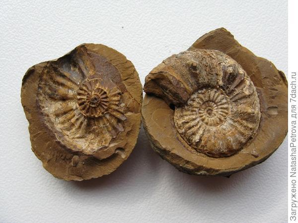 Аммонит в известняковом камне