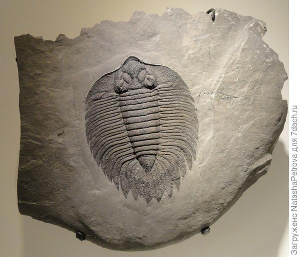 Ископаемый трилобит в куске сланца