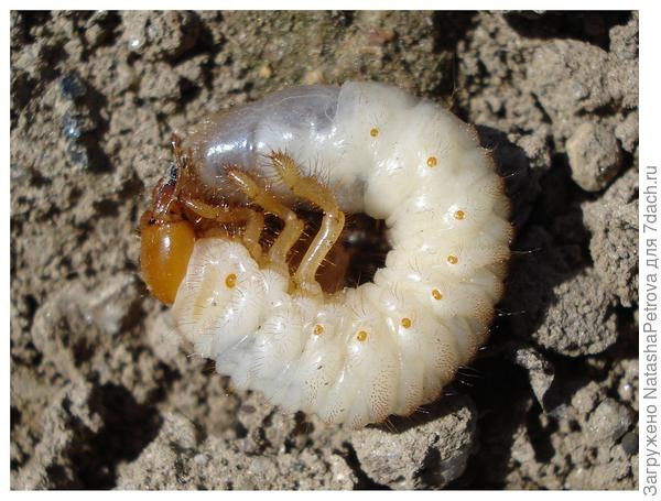 бронзовик личинка