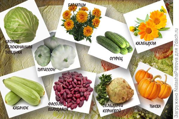 Огурцы, тыква, кабачок, патиссон, фасоль, сельдерей, календула, бархатцы
