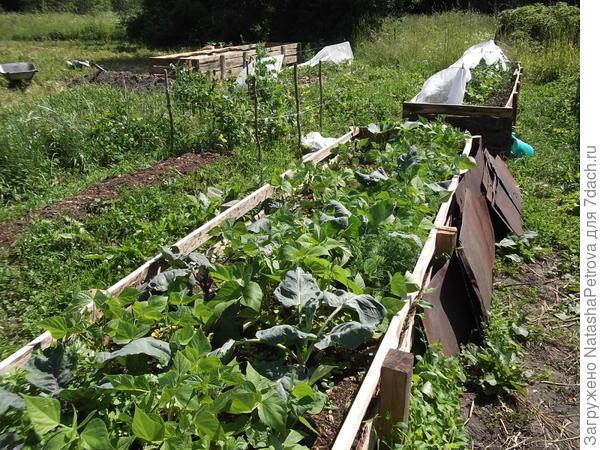Уплотнённые посадки: капуста, кустовая фасоль и зелень