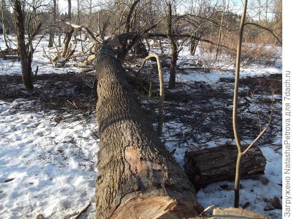 Поверженное дерево