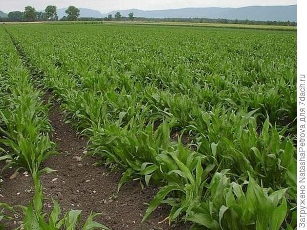 Поле скорцонеры. Фото с сайта http://www.botanichka.ru/