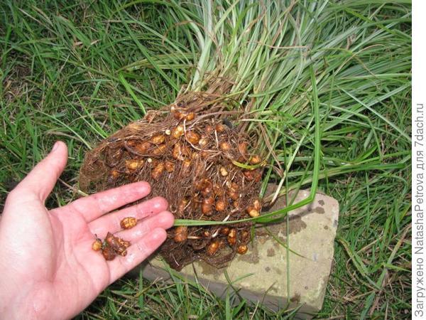 Клубеньки чуфы. Фото с сайта http://www.legom.info/